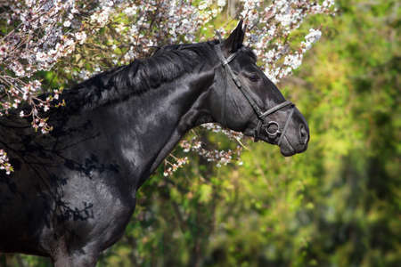 Black horse at spring landscape