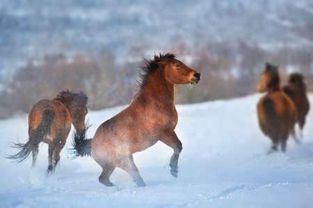 Horse herd in motion on winter snow landscape at sunset 版權商用圖片
