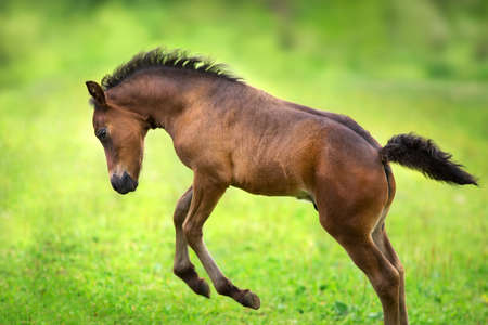 Bay colt close up on spring green meadow 免版税图像