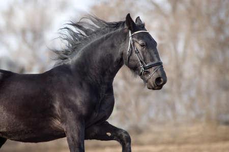 Black frisian stallion close up portrait in bridle