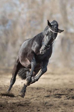 Frisian stallion run on autumn lansdscape Imagens