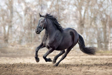 Frisian stallion run on autumn lansdscape 版權商用圖片