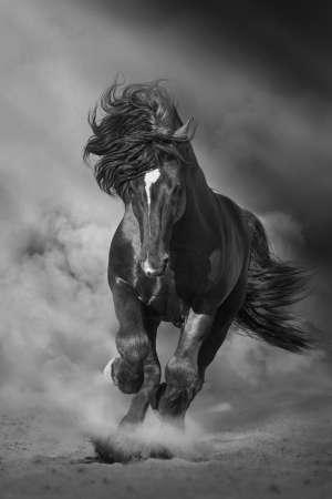 Black stallion run on desert dust against dramatic background. Black and white Imagens
