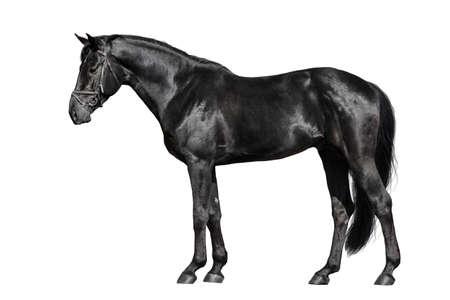Czarny koń na zewnątrz na białym tle