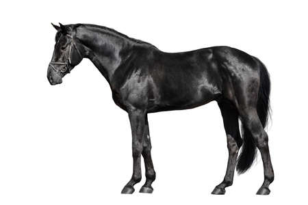 Schwarzes Pferd außen isoliert auf weißem Hintergrund