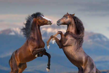 Two horse portrait rearing up outdoor