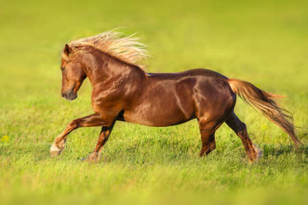 Red horse with long blond mane in motion on springmeadow Stock fotó