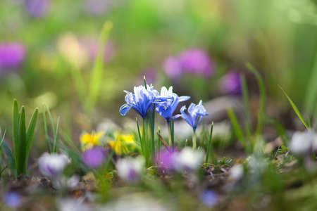 Beautiful crocus flowers blossom