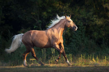 Palomino horse run gallop outdoor