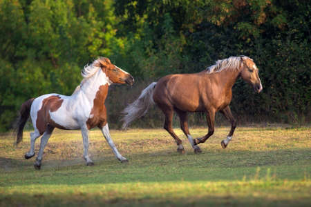 Piebald and palomino horse run gallop on meadow