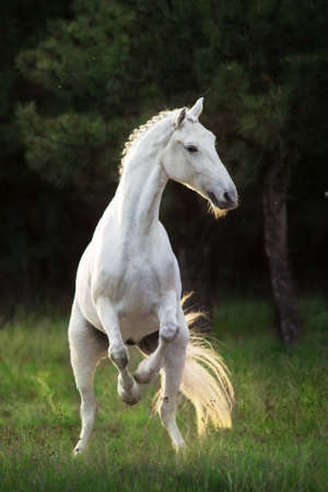 White horse rearing up at sunlight