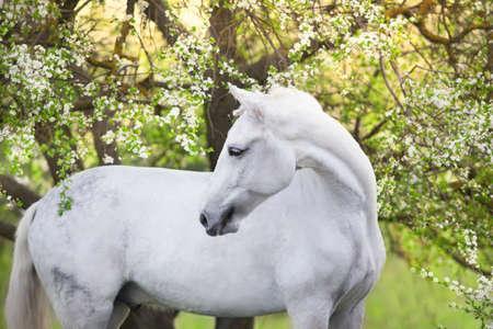 White horse portrait on spring blossom landscape Imagens