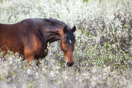 Chestnut horse on spring blossom landscape