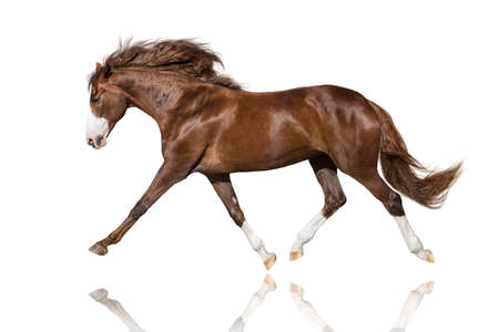 Beautiful  stallion trotting isolated on white background Imagens