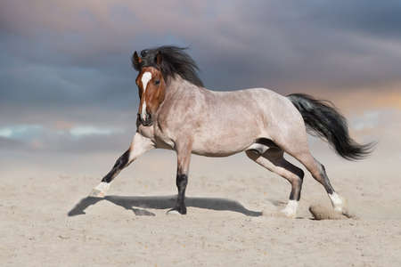 Bay horse run on desert dust Imagens