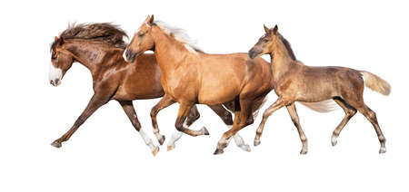 Palomino,red and buckskin horses run isolated