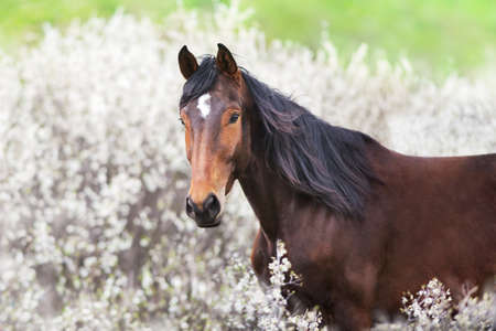 Bay stallion portrait on spring blossom tree
