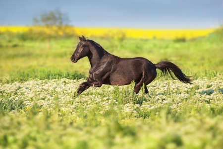 Black horse run gallop on flowers meadow