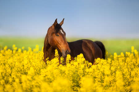 Bay horse with long mane on rape field  Imagens