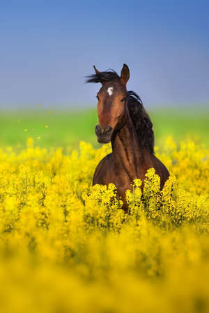 Bay horse with long mane on rape field  Archivio Fotografico