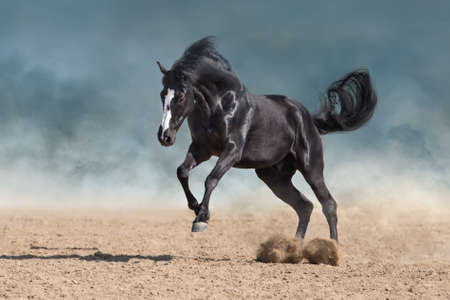 Horse free run gallop in sandy dust
