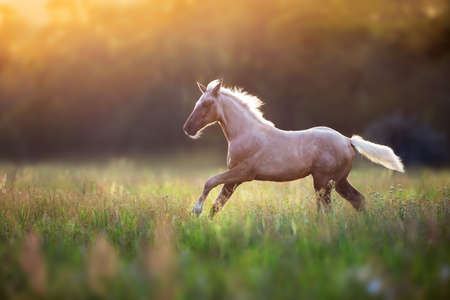 Palomino horse run gallop at sunset light