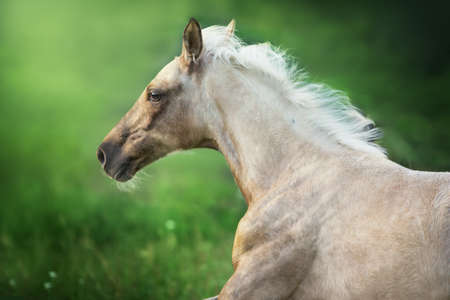 Palomino horse portrait in motion  at sunset light Imagens