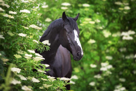 Black Horse portrait on spring blossom trees