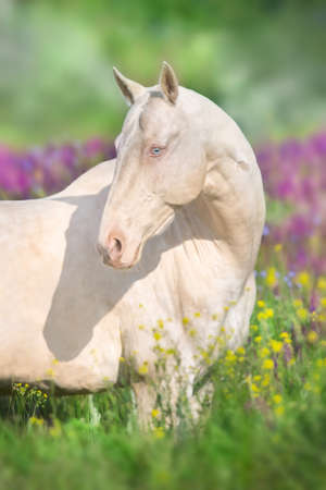 Close up cremello horse portrait in flowers meadow Imagens