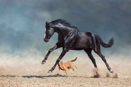 Beautiful bay horse with long mane run and play with dog in desert dust
