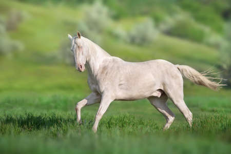 Akhal teke horse run on green spring field
