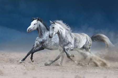 Zwei graue Pferde im Galopp auf Sandstaub Standard-Bild