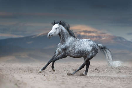Grey horse galloping on sandy field against mountain view