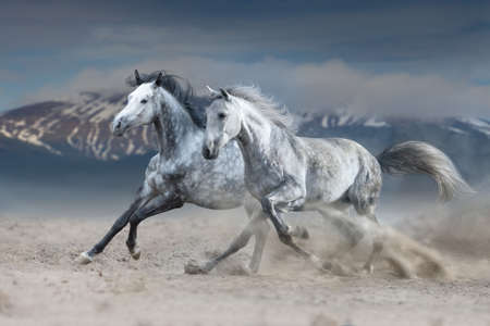 Two grey horse galloping on sandy dust