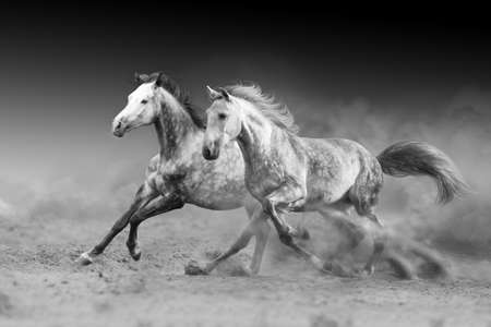 Two horse run gallop isolated on desert dust. Black and white