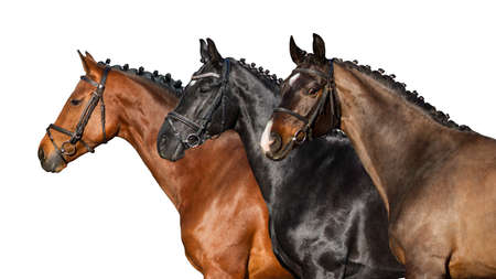 Group of horse in bridle close up portrait on white background Imagens - 128643333