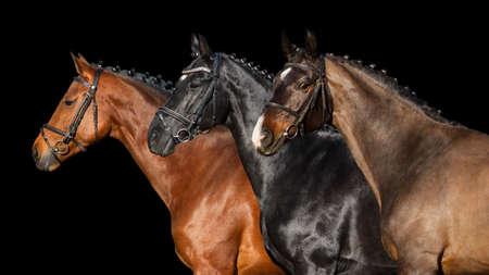 Grupo de caballos en brida cerca retrato sobre fondo negro