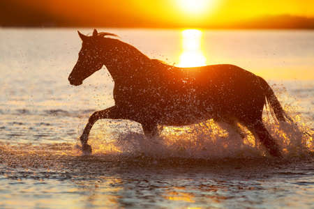Horse silhouette run in river at sunset Imagens