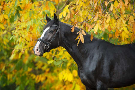 Horse  in bridle against yellow and red autumn trees Imagens