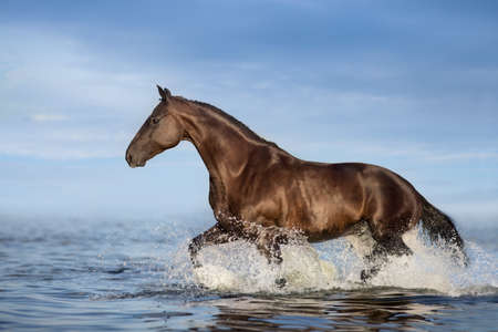 Black stallion run in sea water