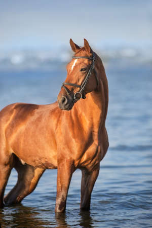 Beautiful red horse portrait in water