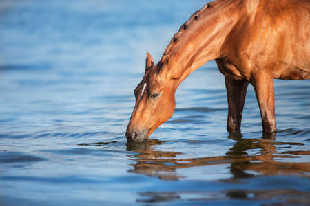 Beautiful red stallion drink in water