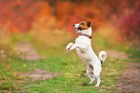 Jack russel terrier play and jump with ball in autumn forest