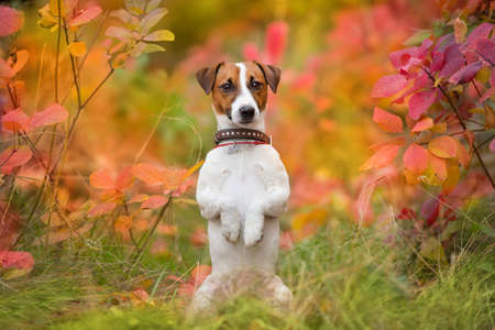 Jack russel terrier portrait in autumn forest