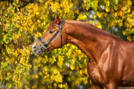 Red Horse  in bridle against yellow and red autumn trees