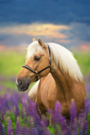 Palomino horse with long mane in lupine flowers at sunset