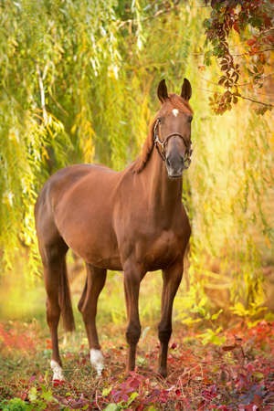 Red horse standing on yellow and red fall park