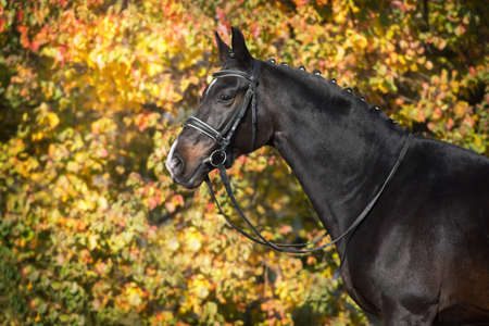Bay horses in bridle against yellow autumn trees