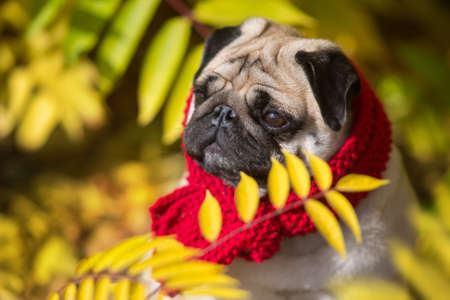 Mops portrait in red scarf close up in autumn beautiful   park