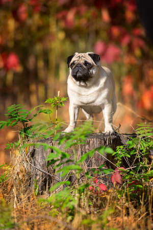 Mops portrait close up in autumn beautiful   park